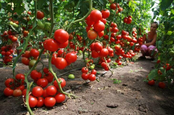 Климат очень сильно может повлиять на урожай томатов