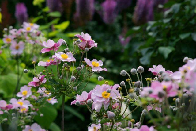 Цветение анемоны японской продолжается несколько недель, и, как правило, пик его приходится на сентябрь