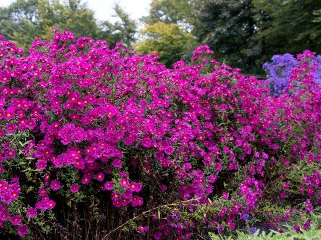 Астра новобельгийская — одно из самых приметных растений осеннего сада