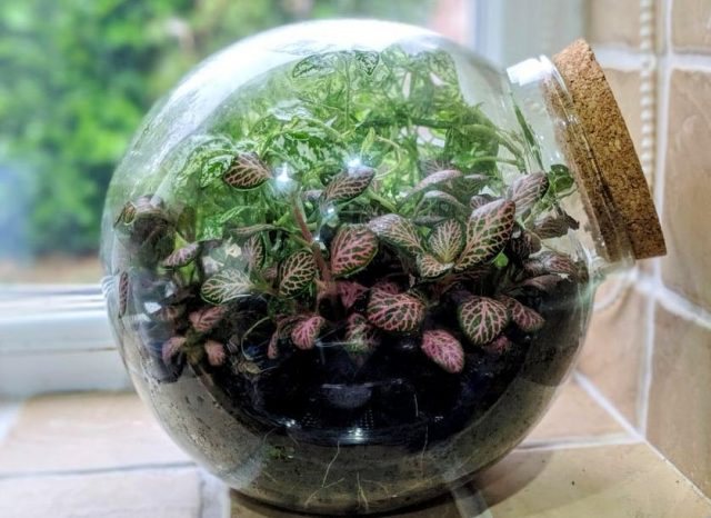 Одна из стратегий создания идеального микроклимата для фиттонии (Fittonia) — содержание в декоративных сосудах