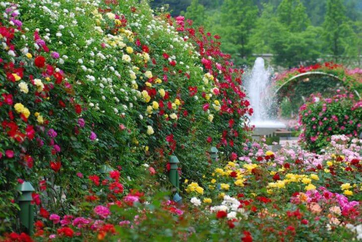 Разноцветные розы на садовом участке