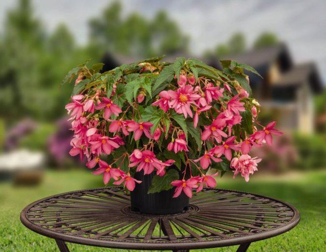 Бегония гибридная (Begonia × hybrida)