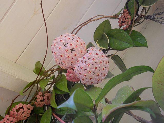 Восковой плющ, или Хойя мясистая (Hoya carnosa)