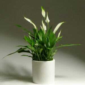 спатифиллум цветущий