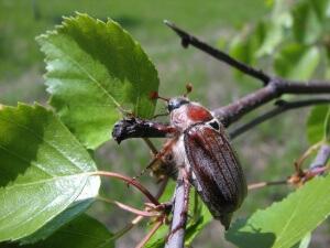 Химические препараты против майского жука лучше действуют в утреннее или вечернее время
