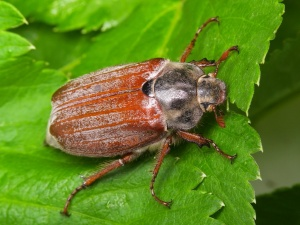 Длина насекомого небольшая: всего 2-3 сантиметра