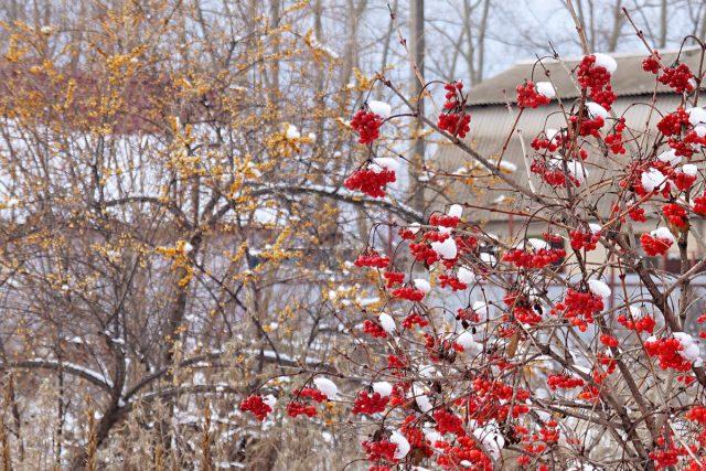 9 растений, которые украсят ваш сад зимой яркими плодами