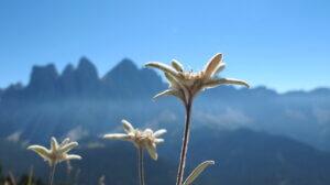 эдельвейс в горах