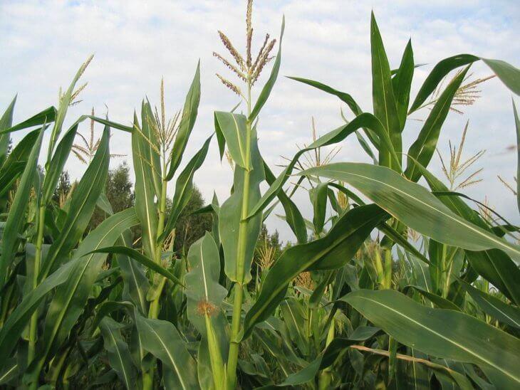Здоровый урожай кукурузы