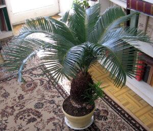Правила ухода за Cycas revoluta в домашних условиях