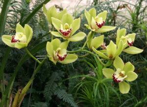 Хороший уход за цветком Цимбидиум в домашних условиях - фото