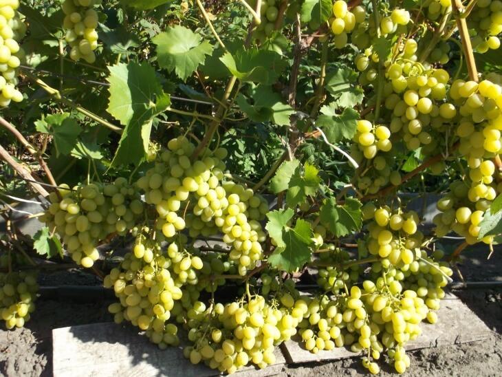 Виноград имеет мускатный аромат