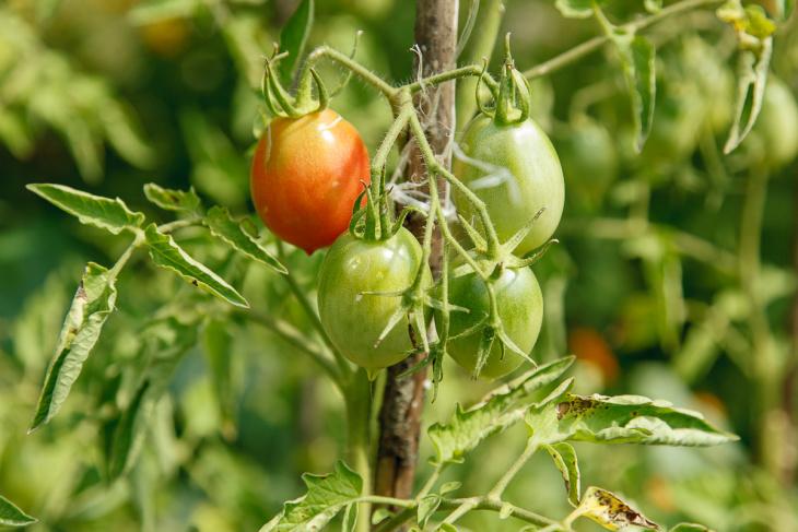Один из сортов ранних томатов