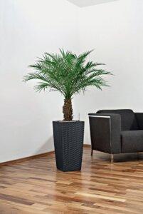 финиковая пальма в доме
