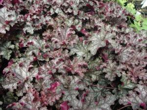 Гейхера Гибридная - неприхотливое растение,  но сквозняки не переносит