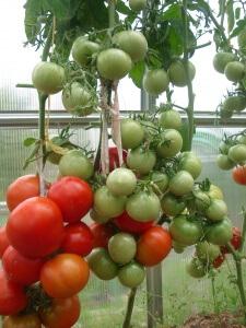 Семена можно высеивать в покупной грунт