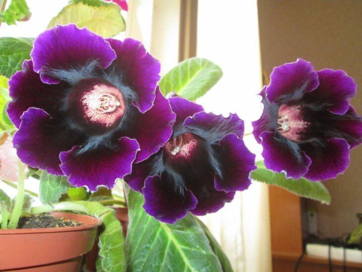 Фиолетовое цветение глоксинии