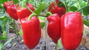 Болгарский перец – это культура, для которой важно тепло и влага