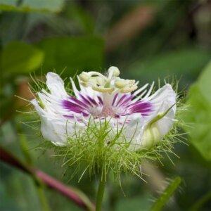 пассифлора цветет