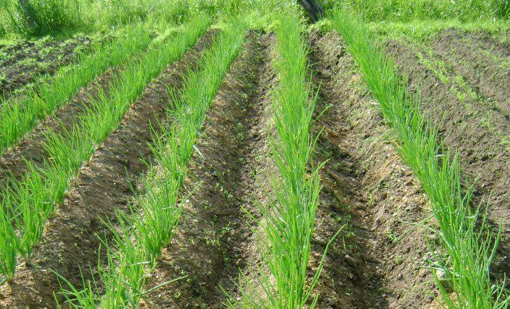 Выращивание лука на грядке