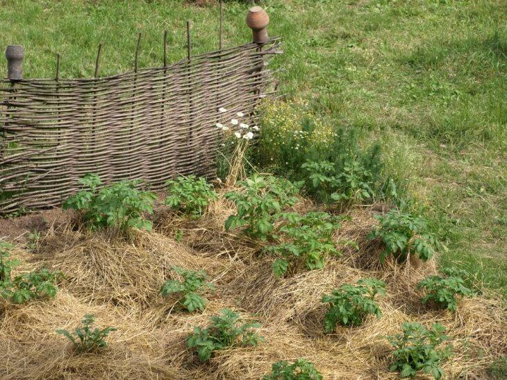 Перед тем как посадить картофель прорастите его