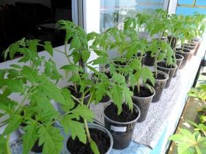 Выбор времени для посева зависит от условий выращивания