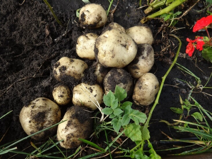 Урожай картофеля после удобрения