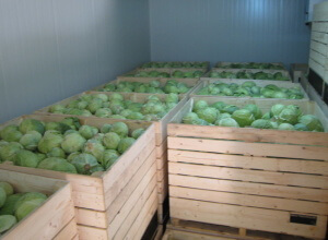 При хранении капусты необходимо поддерживать определенный уровень температуры в помещении