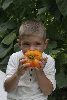 Томат «Сахар оранжевый»