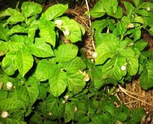 Листья растений с вредителями на них