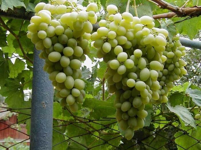 Перед наступлением холодов нужно накрывать данный виноград