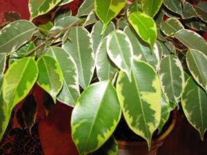 листья фикуса