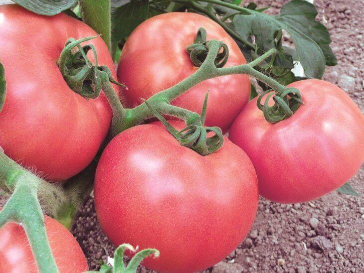 Плоды томатов саду