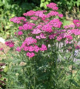 Выращивание растения на грядке