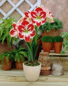 красный амариллис цветущий