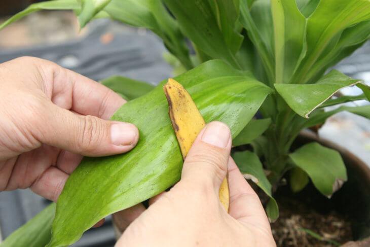 Удобрение растений с помощью навоза
