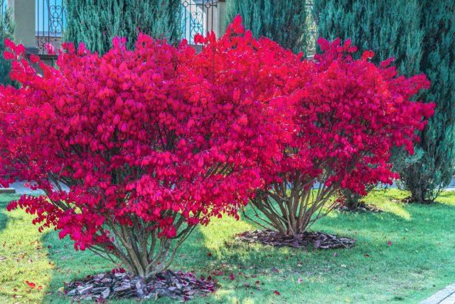 Бересклет — декоративный кустарник для яркой осени в саду
