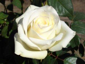 Роза Анастасия прекрасно украсит ваш цветочник