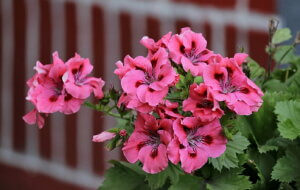 ярко-розовая герань