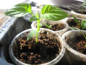 Почва, подходящая для выращивания перца