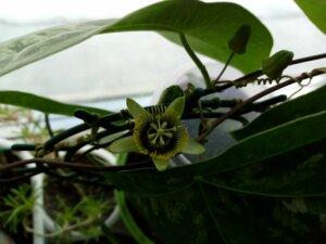 цветущая пассифлора