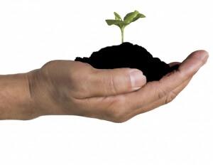 Лучше всего использовать сульфат аммония, когда почва бедная