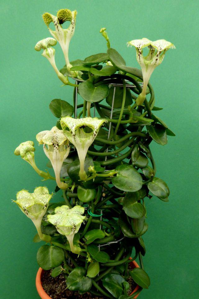 Церопегия ползучая, или Сандерсона (Ceropegia sandersonii)