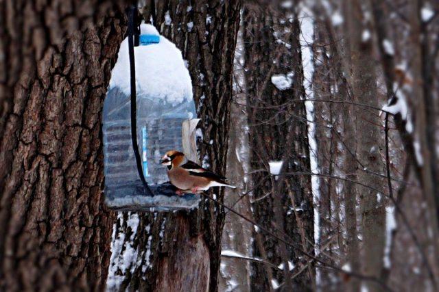 Возле кормушек можно увидеть редкие виды птиц, например, дубоноса, который обожает орехи