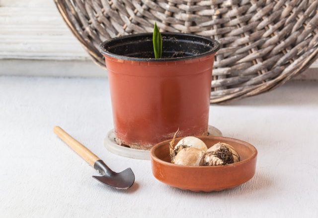 Все луковицы и клубни, которые куплены и проросли, надо посадить в горшочки, если они ещё спят — в прохладное сухое место, и пусть досыпает до апреля
