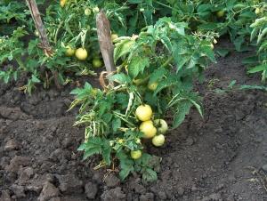 Необычный сорт зеленый помидоров, который поможет избежать грабителей