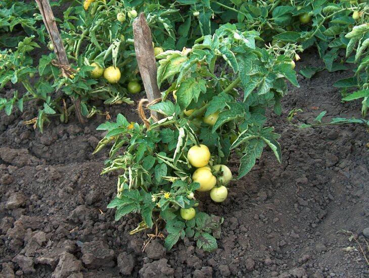 Помидоры будут расти хорошо рядом с луком и капустой