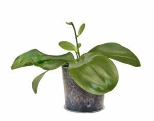 орхидея без цветов