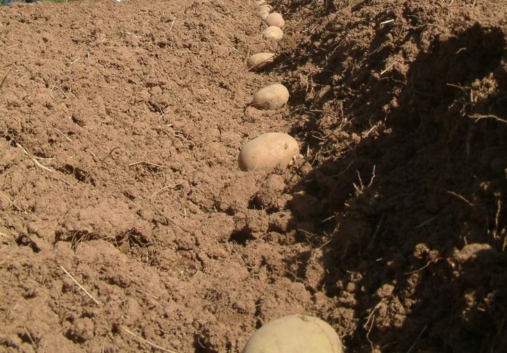 Лунка для посадки картофеля
