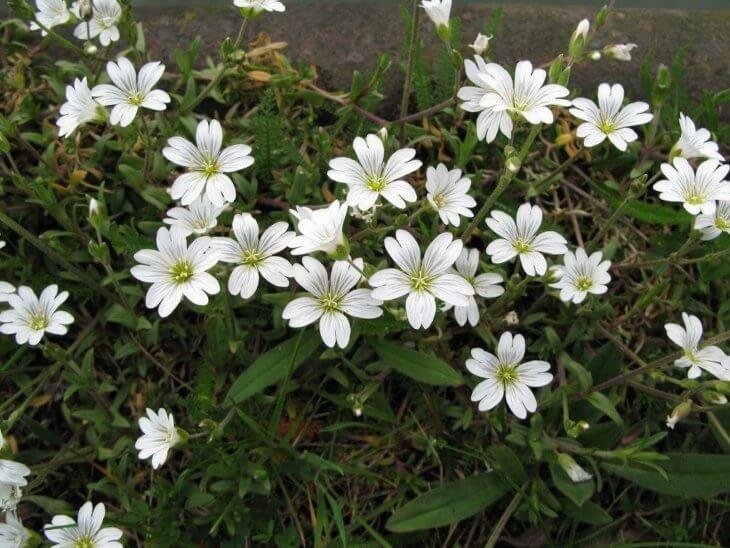 Цветение Ясколка